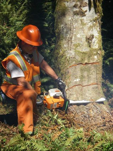 Game Of Logging Oakville Washington proper cuts for tree felling