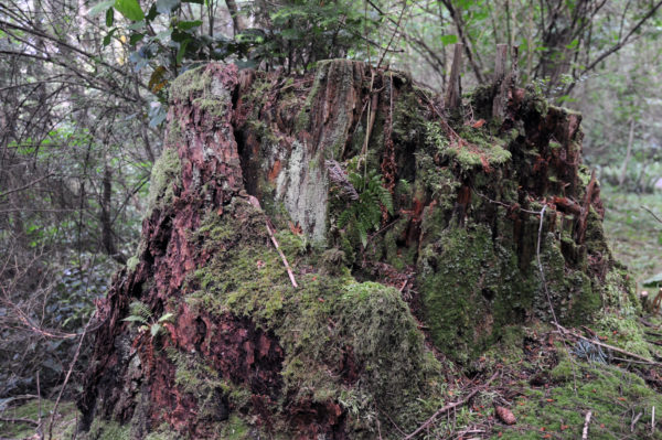 Decaying old growth tree stump at Price Sculpture Forest park in Coupeville on Whidbey Island