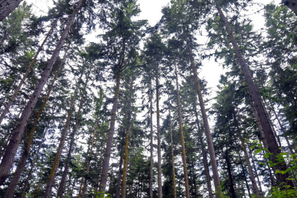 Looking up into century old trees at Price Sculpture Forest park in Coupeville on Whidbey Island