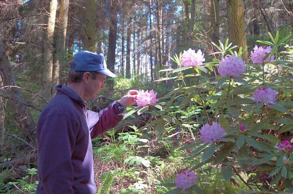 Rhododendron bushes with flowers in Price Sculpture Forest park in Coupeville on Whidbey Island