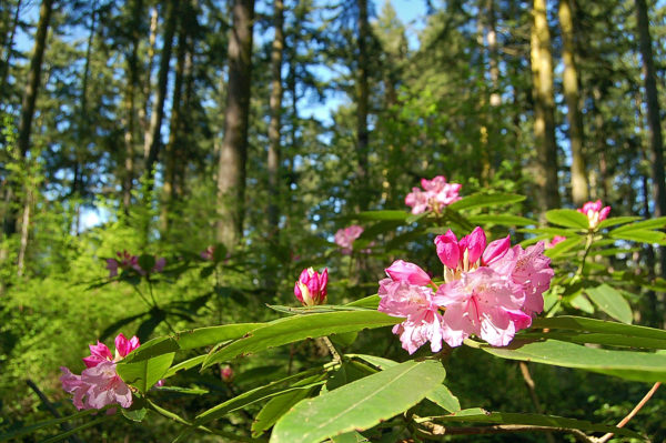 Rhododendron flowers among Douglas fir trees in Price Sculpture Forest park in Coupeville on Whidbey Island