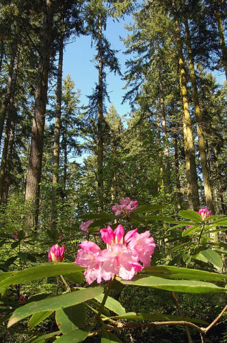 Rhododendrons and trees in Price Sculpture Forest park in Coupeville on Whidbey Island