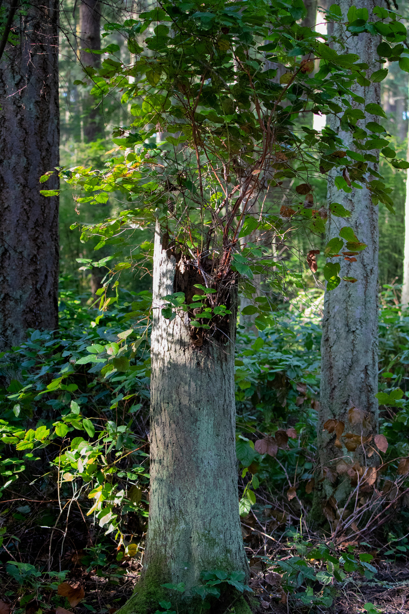 Snag with new growth salal at Price Sculpture Forest park by Gary Lemmon