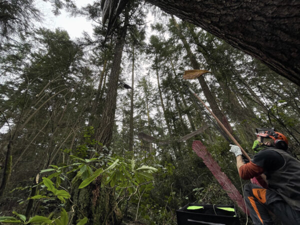 Arborist Jesse Brighten slingshots line up into tree canopy for Pat McVay Icarus Was Here phase 3 at Price Sculpture Forest