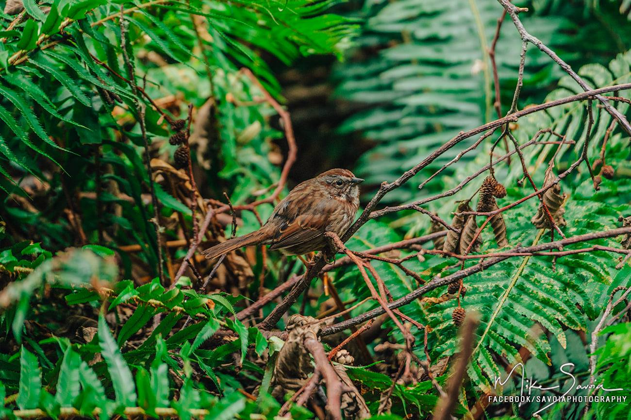 Song Sparrow at Price Sculpture Forest photo by Mike Savoia Facebook SavoiaPhotography