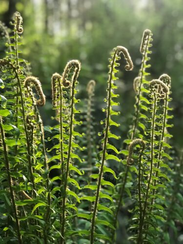 Sword fern fiddleheads growing in spring weather at Price Sculpture Forest - photo by Christina Whiting